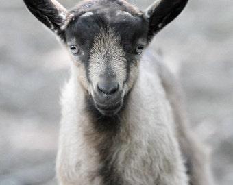 Neutral Nursery Art, Baby Farm Animal Photo, Nursery Decor, Baby Goat Photo
