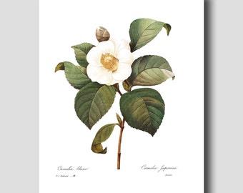 Camellia Art, Botanical Wall Art (Japanese Art, Cottage Home Decor) --- Pierre Redoute White Flower Print No. 14