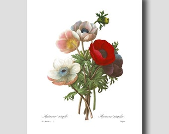 """Red Poppy Art """"Poppy Anemones"""" (French Country Decor by Pierre Redoute) Botanical Flower Print No. 7"""