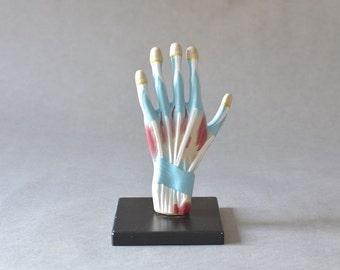 Vintage anatomical hand model teaching material West German 60s