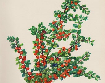 Vintage Cotoneaster Flower Print Red Flower Gallery Wall Art Cottage Decor Gift for Birthday Wedding Anniversary  Shrub 2950