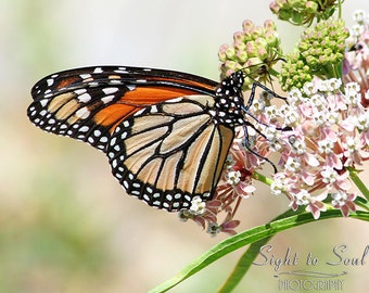Nature Photography, monarch butterfly print, country home decor, butterfly on flowers, fine art photography