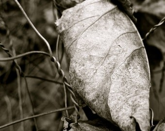 Nature Photography, Leaves, Black and White, Dark, Fence, Wire, fPOE, Caught in the Wire