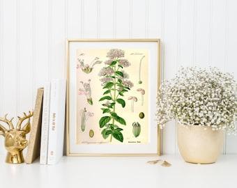Marjoram botanical illustration. Botanical print. Herbs illustration print. Home decor. Wall art. Kitchen decor. Herbal plant poster. Herb.