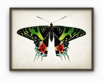 Antique Butterfly Illustration Wall Art Poster - Vintage Butterfly Book Plate Wall Art - Butterfly Picture Home Decor (B196)