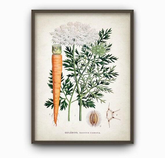 Carrot Antique Botanical Wall Art Print Vintage Kitchen