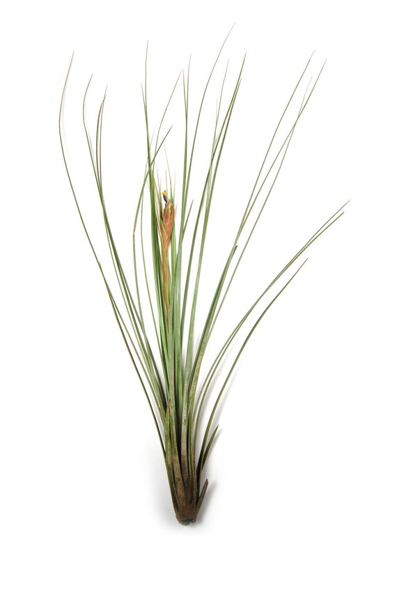 12 air plants wholesale juncea air plant set of 12 air for Cheap air plants