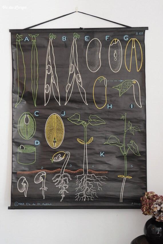 affiche murale scolaire vintage auzoux sougy le haricot. Black Bedroom Furniture Sets. Home Design Ideas