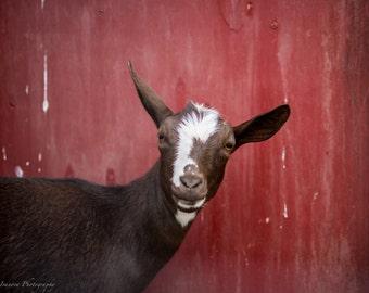 Farm Day Curious Goat Photo Print 8x10, 11x14, 16x20 or canvas