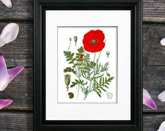 Botanical Art Print Red Poppy Wall Art Print #3  , Red flower wall art, Papaver Opium Poppy home decor art print, GnosisBotanical Art