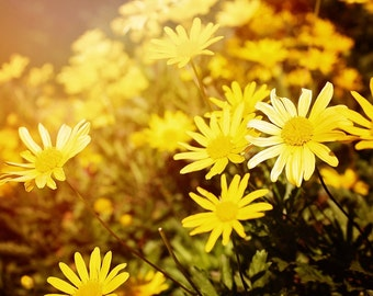 Nature Photography, Flowers, Daisey, Whimsical, Flower Photography, Yellow Daisey, Sunshine