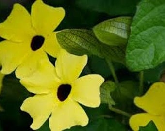 Thunbergia Seeds, Thunbergia Alata Sunrise Yellow, Annual Vine, May be grown in a pot