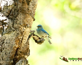 Mountain Bluebird, Bluebird Photograph, Songbird Images, Nature Photography, Wildlife Photographs, Bird Photographs, Bluebird Pictures, Bird