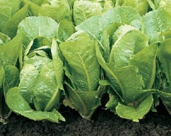 500 Lettuce Seeds Green Towers Vegetable Seeds