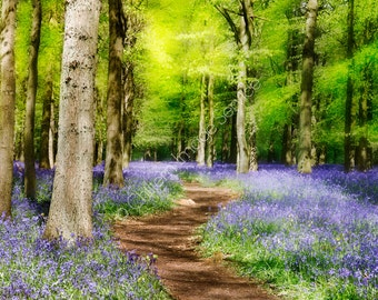Bluebells in English Woodland ENHANCED with soft effect Giclee photo print photography fine art