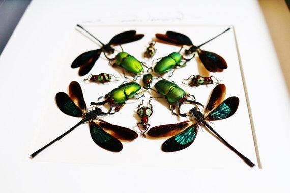 Artframe with real insects : Topquality display with beautiful insects of the world