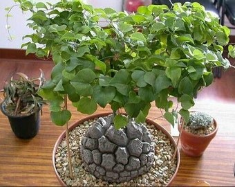 New Arrival Home Garden Succulent Plant 4 Seeds Elephant's Foot Dioscorea elephantipes
