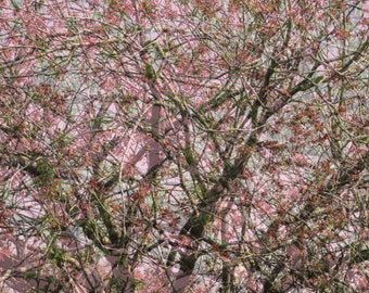 pink blossom, spring, nature photography