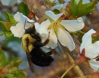 BUMBLE BEE--Nature Photography, Bumble Bee, Flowers, Picture of Bumble Bee, Weeping Cherry, Bees, Garden Photography, Bee on Flower, Macro