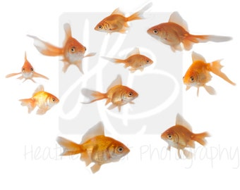 INSTANT DOWNLOAD Goldfish Overlay for photoshop perfect for fish bowl shots!