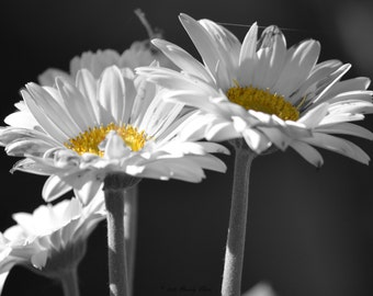 Daisies Photography Floral Print Black and White Color Accent Home Decor Wall Hanging Office Decor White and Yellow