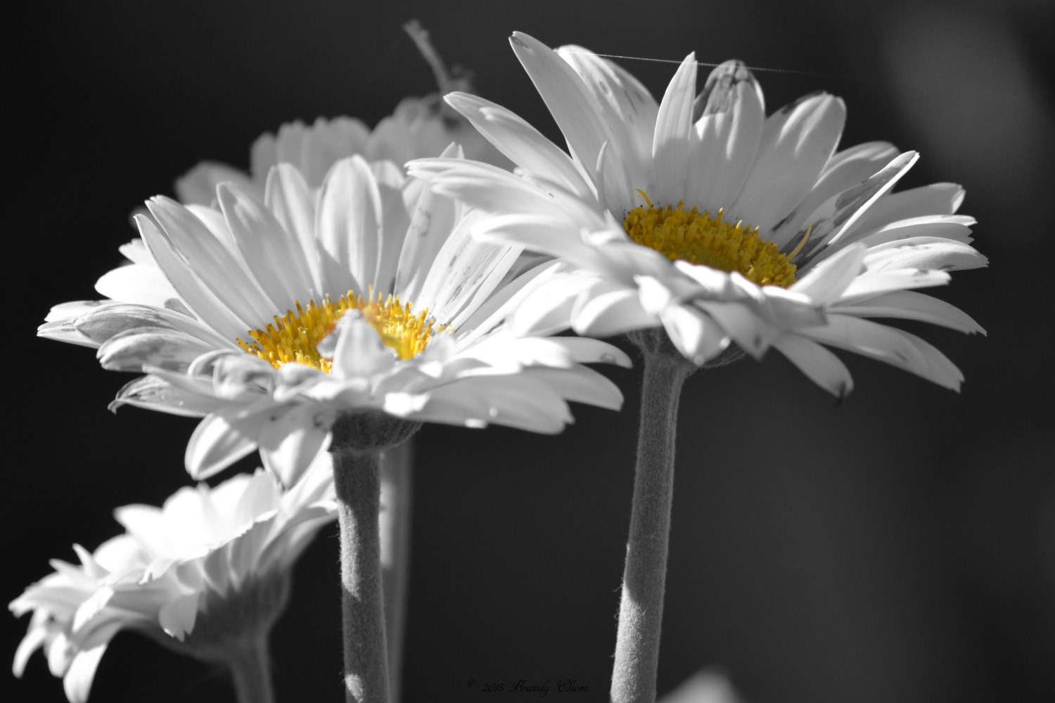 Daisies Photography Floral Print Black and White Color Accent