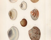 1836 Antique Original Engraving Le Règne Animal Paris Molluscs Mollusques Plate 105 CUVIER hand colored Marine Sea Ocean Beach Life Shells