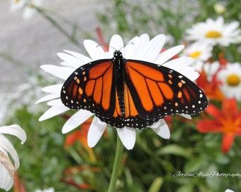 Butterfly on a Daisy Photo Print