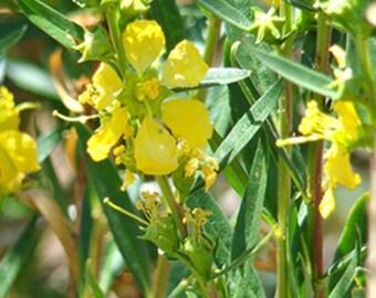 Hemia Salicifolia Sun Opener Live Shaman Medicinal Herb