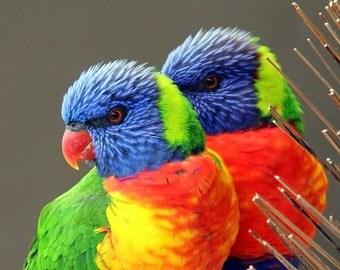 Rainbow Lorikeet breeding pair