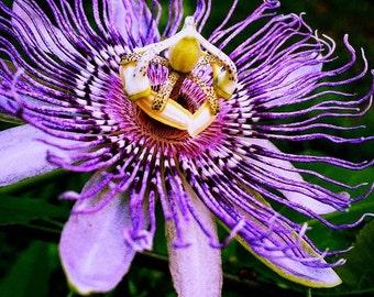 Original Fine Art Digital Photograph Giclee Print:  Passionflower