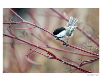 Nature Photography PRINT, Red Branches - 2, Wall Art