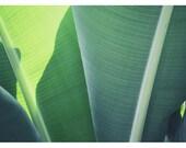 Nature Photography  - Green  - Palm -  Fine Art Photograph - Plant - Green Leaf - Banana Leaf - Plantain 1- Botanical Art - Oversize
