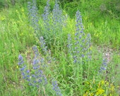 BLUEWEED naturally DRiED Flower Bunches WILDFLOWER Viper's Bugloss