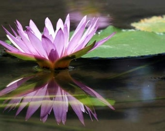 Bali Flora - Reflection (lilac water lily mirror reflection photo print, exotic Bali travel photography, purple lotus green peaceful zen)