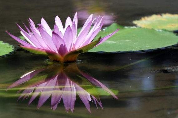 Bali Flora - Reflection (lilac water lily mirror reflection photo print, exotic Bali travel photography, purple lotus green peaceful zen)