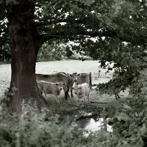 Country Cows  Archival Print