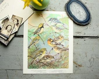 vintage. print. bird. Warbler. home decor. Allan Brooks. 1960s. wall hanging. found art.
