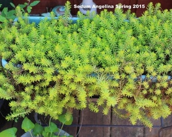 10 Sedum Angelina Ground cover cuttings-Wedding Favor Decor-