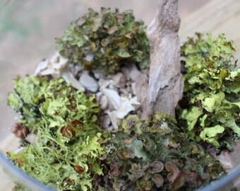 Tree Lichens-4 assorted sized curly lichens-Live and natural or preserved & dyed-Chartreuse green lichens-dried botanicals-W...