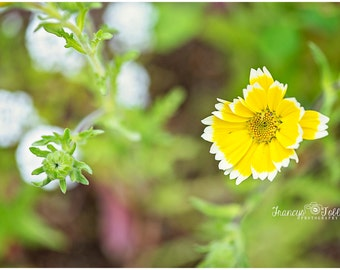 Spring Yellow and White Blossom Flower Fine Art Canvas wrap- macro