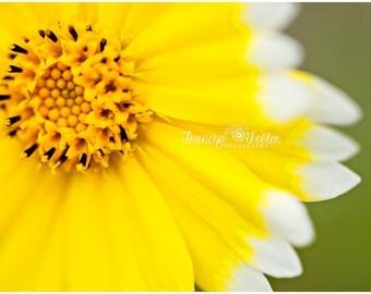 Spring Yellow Daisy Flower Fine Art Canvas wrap- macro 1