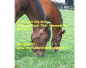 Look! Just Like Mom!  A Young Foals First Attempts to Eat Grass - 8 x 10 Inch Photograph