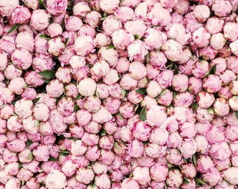 Paris Peony Photograph -  Peony Season in Paris, Large Wall Art, Travel Photography, Floral French Home Decor