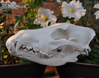 Beautiful Hand Made Arctic Wolf Skull Replica