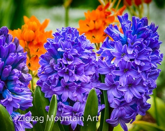 Blue Hyacinth Flowers in bloom.  Flower still life wall art or wall art from still photography.  Fine art print for home decor or wall art.