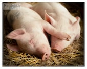 Sleeping hugging cuddly PIGS piglets in the Barn on straw animal photograph dreaming pet photo nursery wall decor