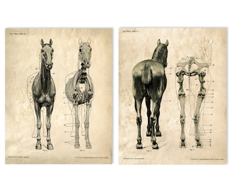 Horse anatomy Skeleton Prints - Two Matching Vintage Science Animal Study Posters. Horse Anatomy Diagram biology chart skeleton -  CP117