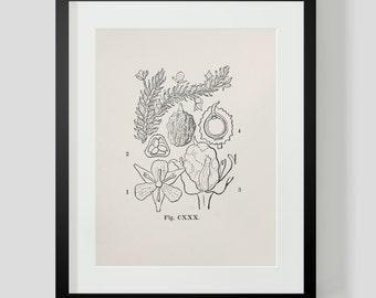 Vintage Botanical Illustration Print 2