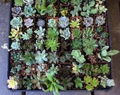 Ninety-Five (95) Assorted potted Succulent Collection 2 inch plastic pots succulents great for wedding gifts & FAVORS~